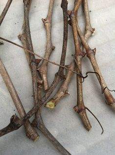 Growing new grapevines from pruned clippings