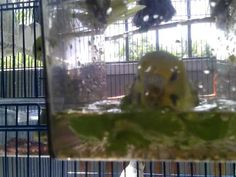 Bringing The Best In Budgie Bath Time - http://www.parrotshop.org/in-budgie-bath-time/