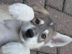 Mahlek Northern Inuit puppy <3