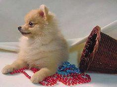 Pomeranian Puppy Dogs