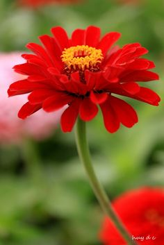 Red Zinnia Flower | by Tony d.c.