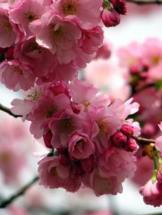 Ornamental Almond in bloom ~ gorgeous pink flowers Flowers Nature, My Flower, Pink Flowers, Pretty In Pink, Beautiful Flowers, Deco Floral, Arte Floral, Blossom Trees, Cherry Blossoms