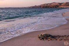Oman Photos - Turtle