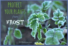 Don't let your hard garden work get ruined by frost! Here's how you can protect your plants this year.