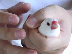 握り文鳥の画像(写真)