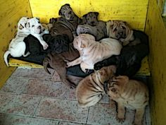 Puppy Shar-pei Of The Crease Of Wisdom