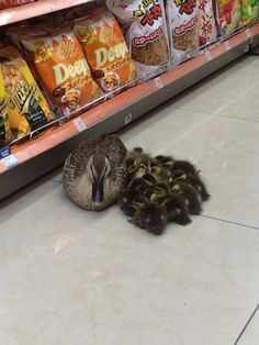 Here we can see a wild mother duck doing some stationery shopping with her dozens of wild kids