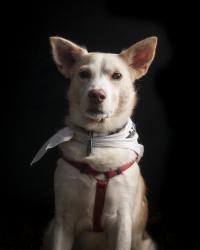 Adopt me, I'm lovable & adorable!  Wasabi is an adoptable Husky Dog in Philadelphia, PA.  Name: Wasabi    ...  ...