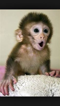 Ideas for baby animals monkey pictures Cute Funny Animals, Cute Baby Animals, Animals And Pets, Wild Animals, Cute Baby Monkey, Pet Monkey, Monkey Pictures, Cute Animal Pictures, Primates