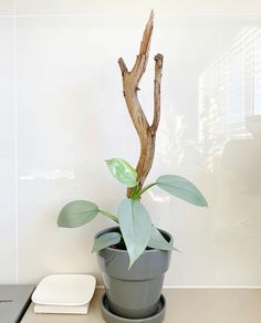 Tree branch in flowerpot. Cool Plants, Green Plants, Potted Plants, Indoor Plants, Leafy Plants, House Plants Decor, Plant Decor, Planting Succulents, Planting Flowers