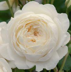Fragrant cabbage rose  Treloar Roses - Claire Austin*