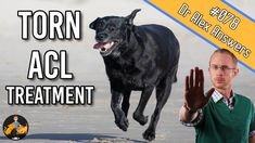The Best Torn Dog ACL Treatment (for the fastest recovery) — Our Pets Health Large Dog Breeds, Large Dogs, Small Dogs, Torn Acl In Dogs, Acl Rupture, Cruciate Ligament Tear, Acl Recovery, Acl Surgery, Acl Tear