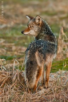 Coyote (Canis latrans) ... I hear them howling many nights in the vineyard behind our house. They hunt mostly rodents, small animals. When they make a kill, you know!