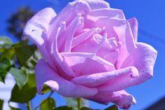 Light Purple Roses | light purple rose Purple Roses, Light Purple, Purple Rose