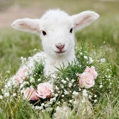 I Love Goats green color for bedroom - Green Things Cute Baby Animals, Farm Animals, Animals And Pets, Funny Animals, Cabras Animal, Beautiful Creatures, Animals Beautiful, Cute Lamb, Cute Goats