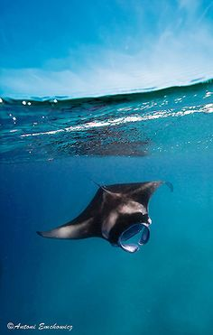 Manta rays are large eagle rays belonging to the genus Manta. The larger species, M. birostris, reaches 7 m (23 ft) in width while the smaller, M. alfredi, reaches 5.5 m (18 ft). Both have triangular pectoral fins, horn-shaped cephalic fins and large, forward-facing mouths. They are classified among the Elasmobranchii (sharks and rays) and are placed in the eagle ray family Myliobatidae.