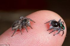 A new study, a investigated two groups of Salticidae (jumping spiders) that can see colour. These are the Habronattus jumping spiders, and the Maratus 'peacock' jumping spiders – and both are no larger than a ladybug Spider Dance, Jumping Spider, Itsy Bitsy Spider, Macro Photography, Levitation Photography, Winter Photography, Abstract Photography, Beautiful Bugs, Amazing Nature