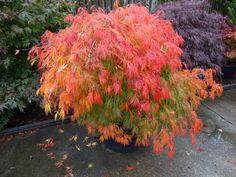 Green Japanese Maple, Garden Retaining Wall, Growing Strong, Acer Palmatum, Maple Tree, Bonsai Garden, Modern House Design, Planting Flowers, Eco Friendly