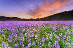 A photo of a single white Camas Lily flower in a field of purple flowers atsunrise in Sagehen Meadows near Truckee in California