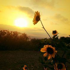 Sun Wild Flower