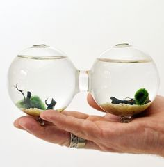 I have a vase like this... maybe I should try! Marimo - Japanese Moss Aquarium