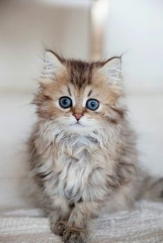 I love cats! Cute Cats And Kittens, Baby Cats, Cool Cats, Kittens Cutest, Baby Kitty, Pretty Cats, Beautiful Cats, Animals Beautiful, Pretty Kitty