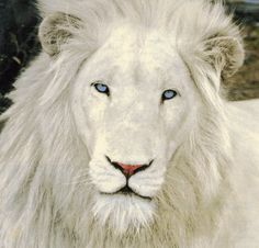 The Majestic White Lion Thor