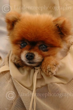 Pomeranian photo card handmade by Lindentreephotograph on Etsy