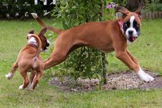 Boxer Dog - 38 Pictures