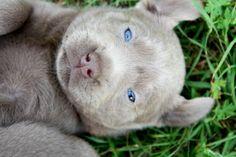 Silver Labrador Retrievers | ...  LABRADOR RETRIEVER DOGS FOR SALE  AKC Silver Labrador retrievers