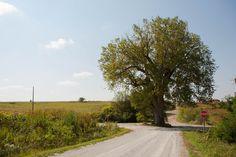 Brayton, IA (Tree in the road)