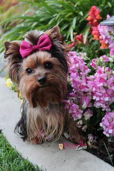 #Yorkie #Yorkshire #Terrier #Dog #Puppy