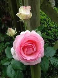 Картинки по запросу фотографии кирлиана цветы