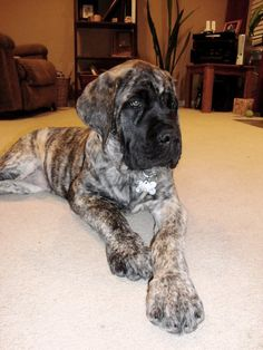 If I'm on the side of the fence of a puppy buyer, it's all about me. If on the side of the fence of the breeder, it's all about the puppy . Brindle English Mastiff, English Mastiff Puppies, Mastiff Dogs, Black Mastiff, Neo Mastiff, English Mastiffs, Baby Dogs, Pet Dogs, Dogs And Puppies