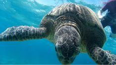 Turtle, Hawaii, In This Moment, Animals, Turtles, Animales, Animaux, Tortoise, Animal