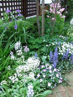 キヨミのガーデニングブログ-シェードガーデンに咲く花の画像
