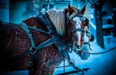 Horses at the Deep Freeze Festival on Sunday, January 13, 2012.  Photograph by: Edmonton Journal reader Ryan Strate