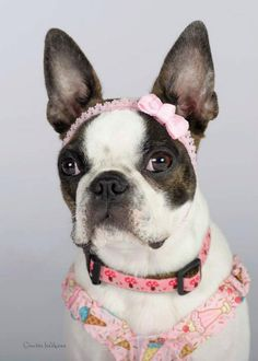 Another Portrait of Bella the brindle Boston Terrier by Creative Indulgence Photographers. http://www.bterrier.com/portraits-of-bella-by-creative-indulgence-photo/  Like Boston Terrier Dogs on Facebook : https://www.facebook.com/bterrierdogs