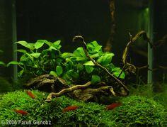 Does anyone have pics of a scape using only java moss and java fern? - The Planted Tank Forum Goldfish Aquarium, Nano Aquarium, Nature Aquarium, Tropical Aquarium, Aquarium Design, Aquarium Fish Tank, Planted Aquarium, Tropical Fish, Aquarium Ideas