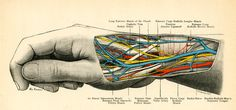 x Radial Nerve, Scientific Drawing, Human Body, Drawings, Science, Image, Life, Art, Art Background