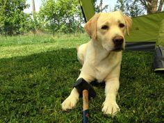 #skank #labrador #helper #dogdogtent