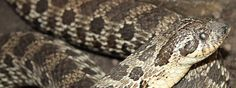 Minilot - Currently residing at our reptile corner in Trabolgan