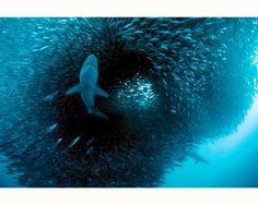 Fototapete Hai auf Jagd | Livingwalls-Cologne.de