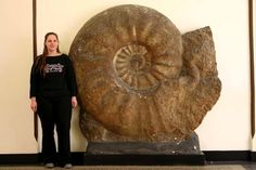Parapuzosia seppenradensis is the largest known ammonite. This specimen found in Germany measures 1.8 m (5.9 ft) in diameter,