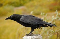 Korp - Corvus corax - Raven - Birds in Sweden