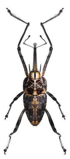 Mecopus bispinosus