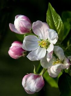 pagewoman:  Apple Blossom Time by Theresa Elvin on Flickr