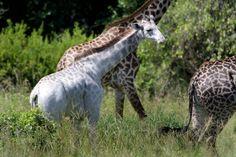 Quando il dottor Derek Lee ha visto per la prima volta Omo, una giraffa di 15 mesi bianca come la neve, la sua prima reazione è stata quella di