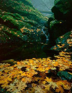 Maple Leaves, Falls, Cataract Canyon, Mount Tamalpais, Marin County, California