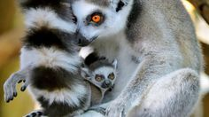 lemur with its mother, nestled behind mother's bushy tail